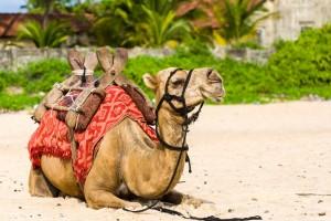 ruhendes Kamel